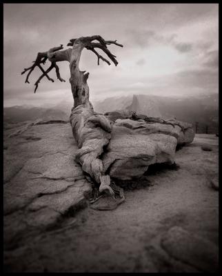 Yosemite Tree © 2017 Micajah Truitt